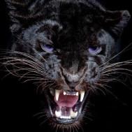 Panther ansikte, fyrkant 50x50cm