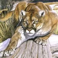 Puma, fyrkant 50x50cm