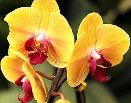 Blomma orchidé gul, fyrkant 40x30cm -