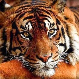 Tiger, fyrkant 40x40cm -