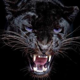 Panther ansikte, fyrkant 50x50cm -