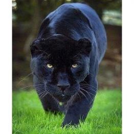 Panther gående, fyrkant 50x60cm -