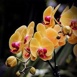 Blomma, orchidé orange, fyrkant 50x50cm -