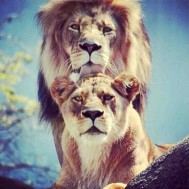 Lejon par, rund eller fyrkantig 40x50cm