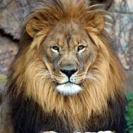 Lejon rund eller fyrkant 50x60cm