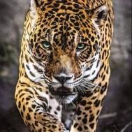 Leopard bebis, rund 30x40cm
