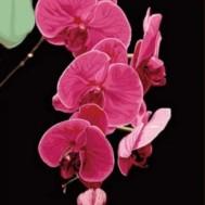 Orchidé rosa 30x40cm rund
