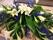 Kistdek vita liljor, riddarsporre