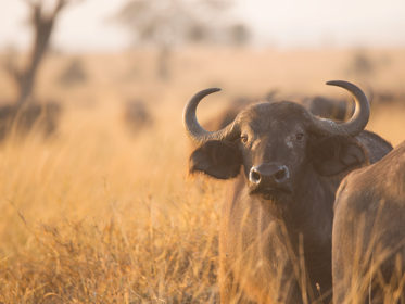 Buffel Serengeti