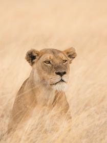 Lejonhona Serengeti