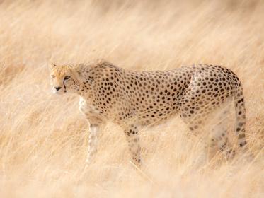 Gepard Serengeti
