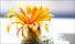 kaktus-blomma