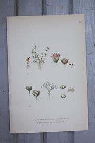 Florabild DVÄRGLIN