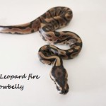 1.0 Leopard fire yellowbelly 3