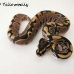 1.0 Yellowbelly 2