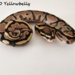 1.0 Yellowbelly 3