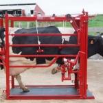 Röd klövstol med ko