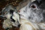 En alldeles nyfödd liten Lave med mamma Eira!