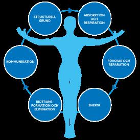 Kroppen är ett system sammansatt av flera kroppsfunktioner och processer som hela tiden är kopplade till varandra och som påverkas av vår kost, vår fysiska aktivitet, vår näringsstatus, vårt stresstil