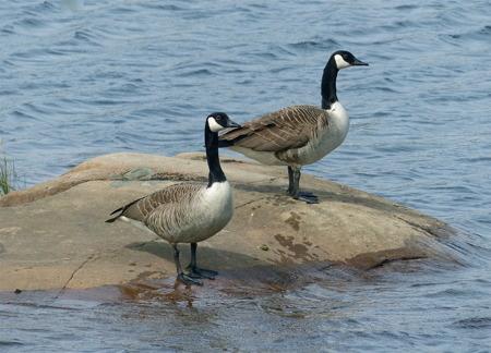Det finns olika slag av sjöfågel i området.