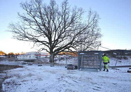 16 januari 2017 - Ett stängsel sätts upp för att skydda den gamla eken.