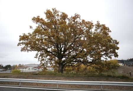 15 oktober 2017 - Den gamla eken står kvar vid nya infarten till Älveruds Handelsområde, och vittnar om gamla tider.