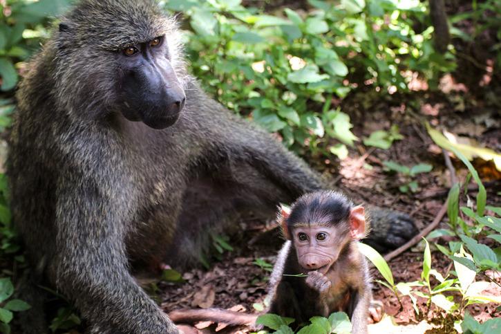 Anubisbabianer, mor med liten unge
