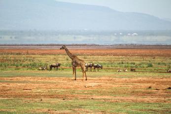 Giraff (Giraffa camelopardalis)