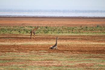 Giraffungar