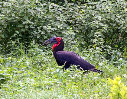 Sydlig hornkorp (Bucorvus leadbeateri)