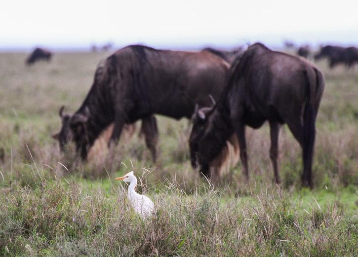 Kohäger (Bubulcus ibis
