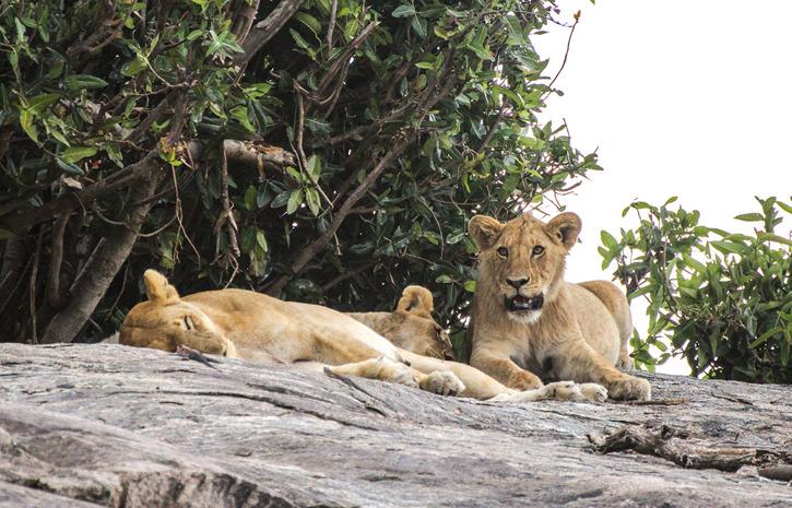 Lejon (Panthera leo)