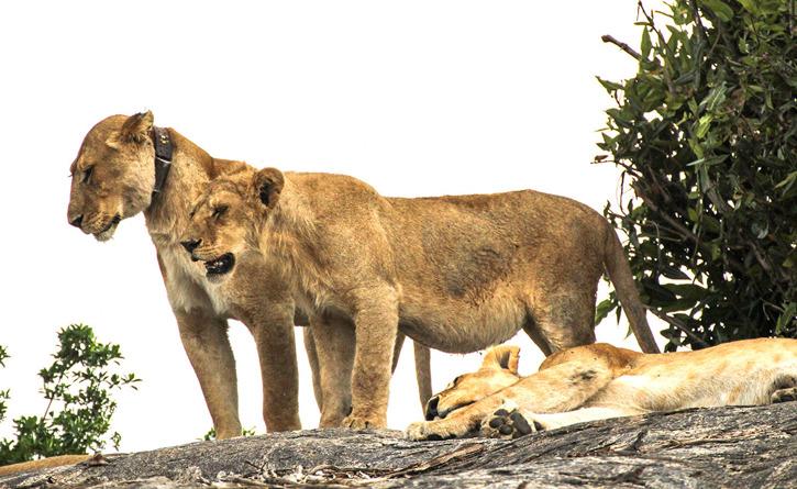 Lejonpar. Det ena lejonet bär på en radiosändare som satts på av forskare.