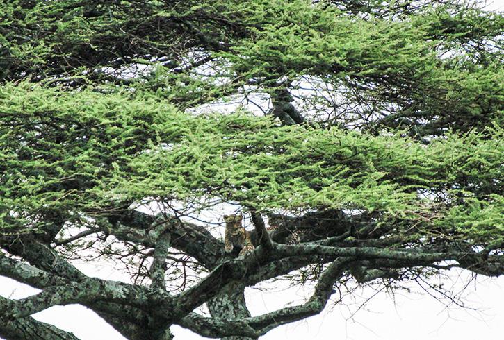 Leoparden var välkamoflerad uppe i trädet.
