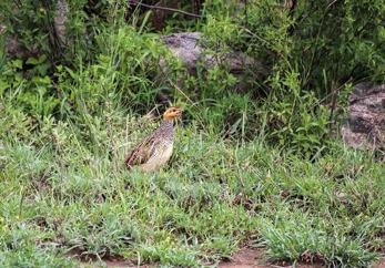 Coquifrankolin (Francolinus coqui)