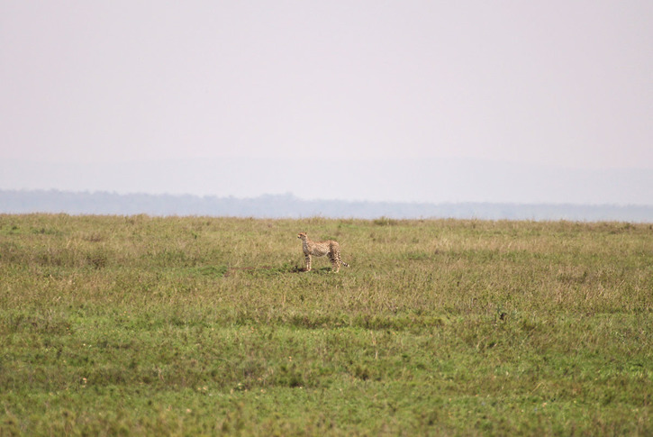 Gepard(Acinonyx jubatus)