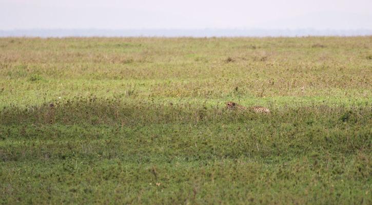 Geparden kryper ihop när den närmar sig