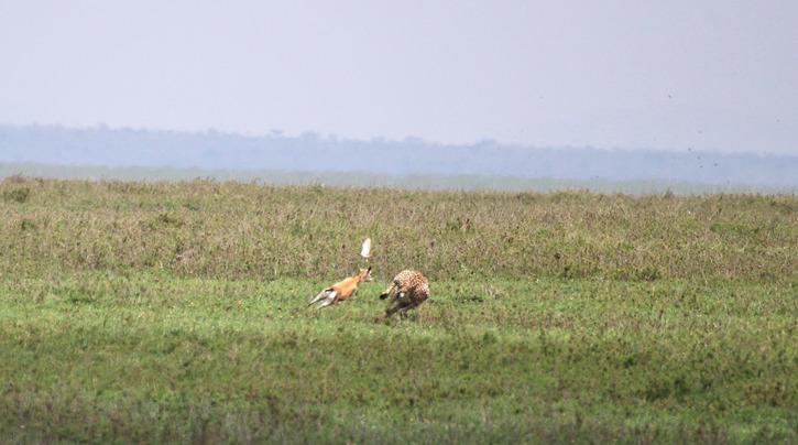 Gasellen sicksackar för att lura geparden