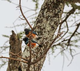 Lilabröstad blåkråka (Coracias caudatus caudatus)