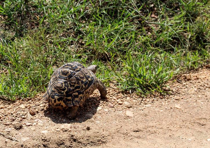 Leopardsköldpadda (Stigmochelys pardalis)