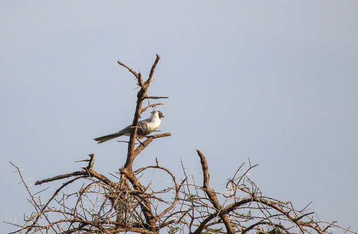 Grå larmfågel (Crinifer piscator)