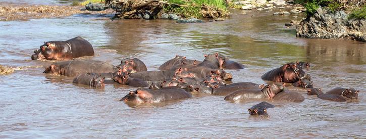 Flodhäst (Hippopotamus amphibius)