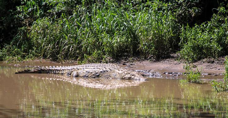 Nilkrokodil (Crocodilus niloticus)