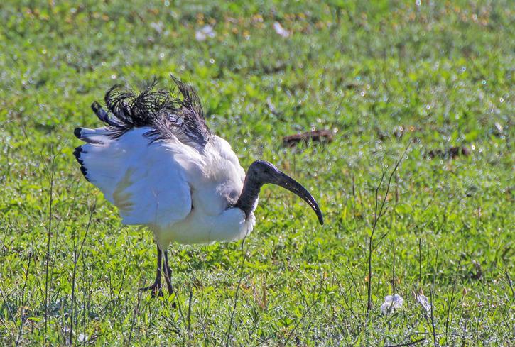 Helig ibis[ (Threskiornis aethiopicus)