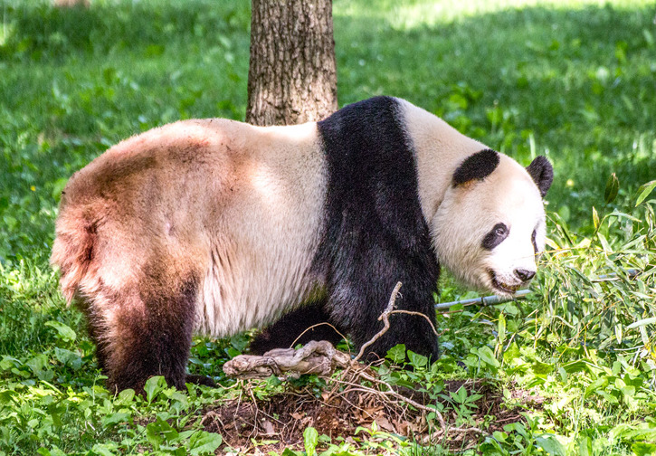 Panda (Ailuropoda melanoleuca),