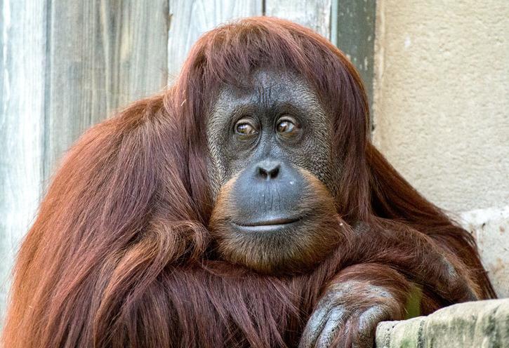 Orangutang (Pongo abelii)
