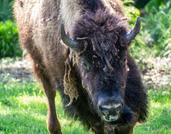 Bisonoxe,(Bison bison)