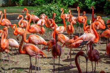 Större flamingo (Phoenicopterus roseus)