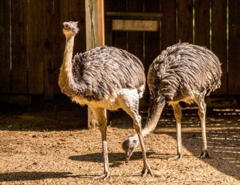 Struts (Struthio camelus)