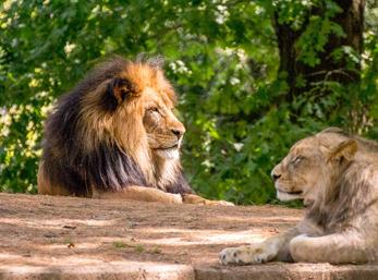Lejon(Panthera leo)
